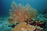Папоротникообразный коралл