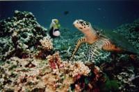 Морская черепаха и императорский ангел