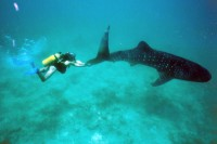 Вадим и китовая акула