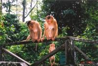 Семейство макаков