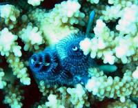 Нечто очень маленькое ( 2см), растущее на коралле
