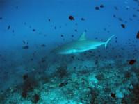 Серая рифовая акула выглядит упитанной