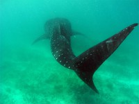 Акулий хвостик