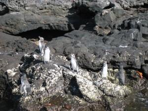 Пингвины. Маленькие, зато много ! :)