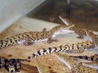 Мелкие крокодилята