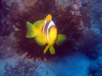 Рыбка клоун. Она же- Немо