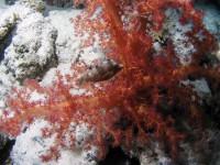 Коралл с рыбкой...
