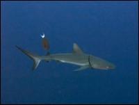 Та самая акула с веревочкой на шее...