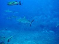 Акулы... К сожалению видеокамерой фотоснимки особо не сделаешь :(