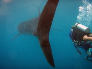 За хвостом китовой акулы