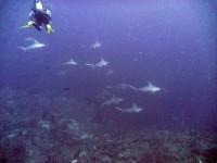 Стая молотков на глубине 50м